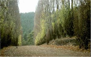 (image: http://wiki.lindefirion.net/images/AnorienPoplars.jpg)